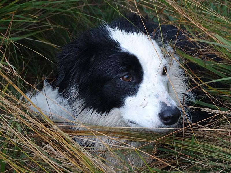 Therapiehund Stella